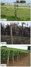 Figure 21. Four-cane Kniffen, early spring. Figure 22. Trellis for GDC. Figure 23. Trellis for VSP-trained vineyard.