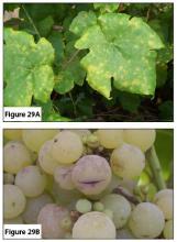 Figure 29A. Powdery mildew on leaves. Figure 29B. Powdery mildew on fruit.