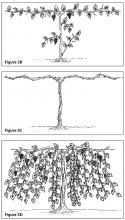 Figure 5B. Cane pruning, second growing season (double lines show pruning cuts). Figure 5C. Cane pruning, second winter (double lines show pruning cuts). Figure 5D. Cane pruning, third growing season.