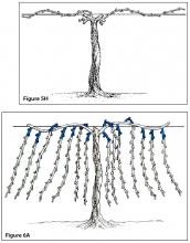 Figure 5H. Cane pruning, fourth winter after pruning. Figure 6A. Spur pruning, third winter before pruning (shading indicates fruiting spurs that will be retained for next season).