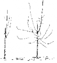 Prune trees immediately after planting. Prune an unbranched or poorly branched tree (left) at about 30 inches above ground; remove the 1 or 2 branches present. If you plan to water a well-branched nursery tree regularly (right), you can leave a central leader and 5 or 6 side branches. Remove branches that compete with the leader or that are over or under another branch.
