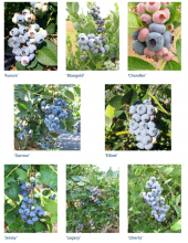 Types of Northern Highbush Cultivars