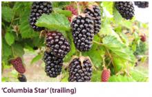 'Columbia Star' (Trailing)