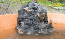 Example of a water source that includes a rock that allows bees to access the water without drowning