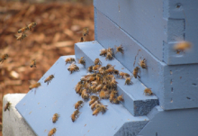 An entrance reducer allows bees to defend their entrance, reducing overall colony defensiveness during periods of robbing