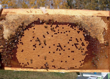 """When brood chambers form a """"crown"""" of honey across the top of the frames it can slow the movement of surplus honey up to the supers"""