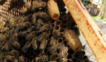 Advanced swarm queen cells that will be capped within 1 to 2 days