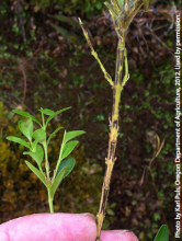 Dark lesions and defoliation on infected boxwood stem compared with healthy specimen