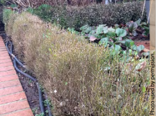 Defoliation caused by boxwood blight in a home landscape