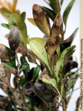 Whole leaves and stems can become blighted