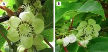 Hardy kiwifruit flowers; female, left, male, right