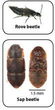 The sap and rove beetles are often mistaken for the small hive beetle.