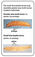 The greater wax moth larva is similar to the larva of the small hive beetle.