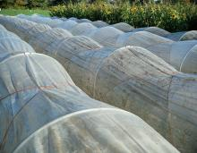 Low tunnels with greenhouse plastic covering. The sides can be rolled up for ventilation.
