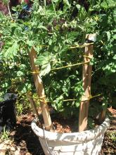 Staking a container-grown tomato