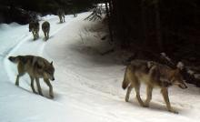 Wolf pack on snowy road
