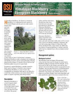 Image of Invasive Weeds in Forestland: Himalayan & Evergreen Blackberry publication