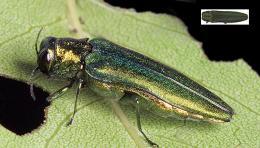 / Monitoreo y Detección de Plagas Forestales en Oregon—El barrenador verde esmeralda del fresno (EAB)