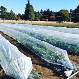 Four rows of low tunnels, plastic sheeting covers hoops