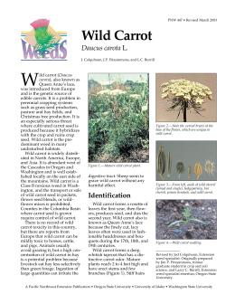 Image of Wild Carrot publication
