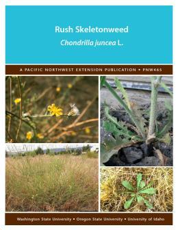 Image of Rush Skeletonweed publication
