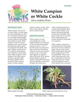 Image of White Campion or White Cockle publication