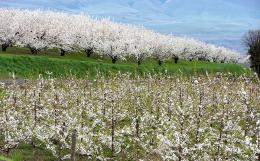 Image of Sweet Cherry Rootstocks for the Pacific Northwest publication